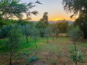 Olive grove trees Provence Saint Tropez holiday rental villa